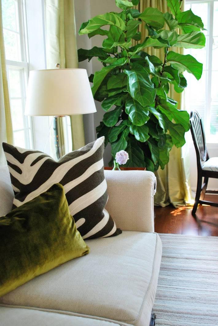 большой фикус лирата с крупными листьями для гостиной