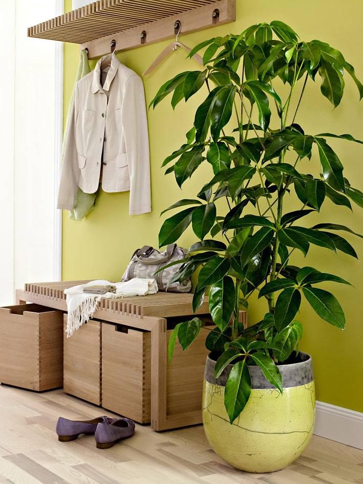 комнатное растение с крупными листьями в прихожей фото