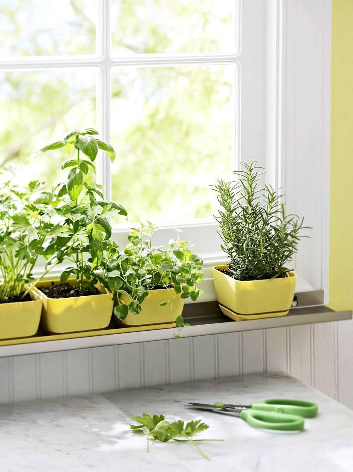 одинаковые желтые вазоны с розмарином и базиликом на окне кухни